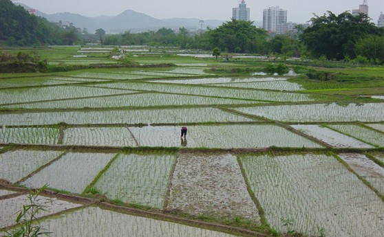 Fujian province - rice paddy farmer